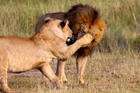 safari planning lions