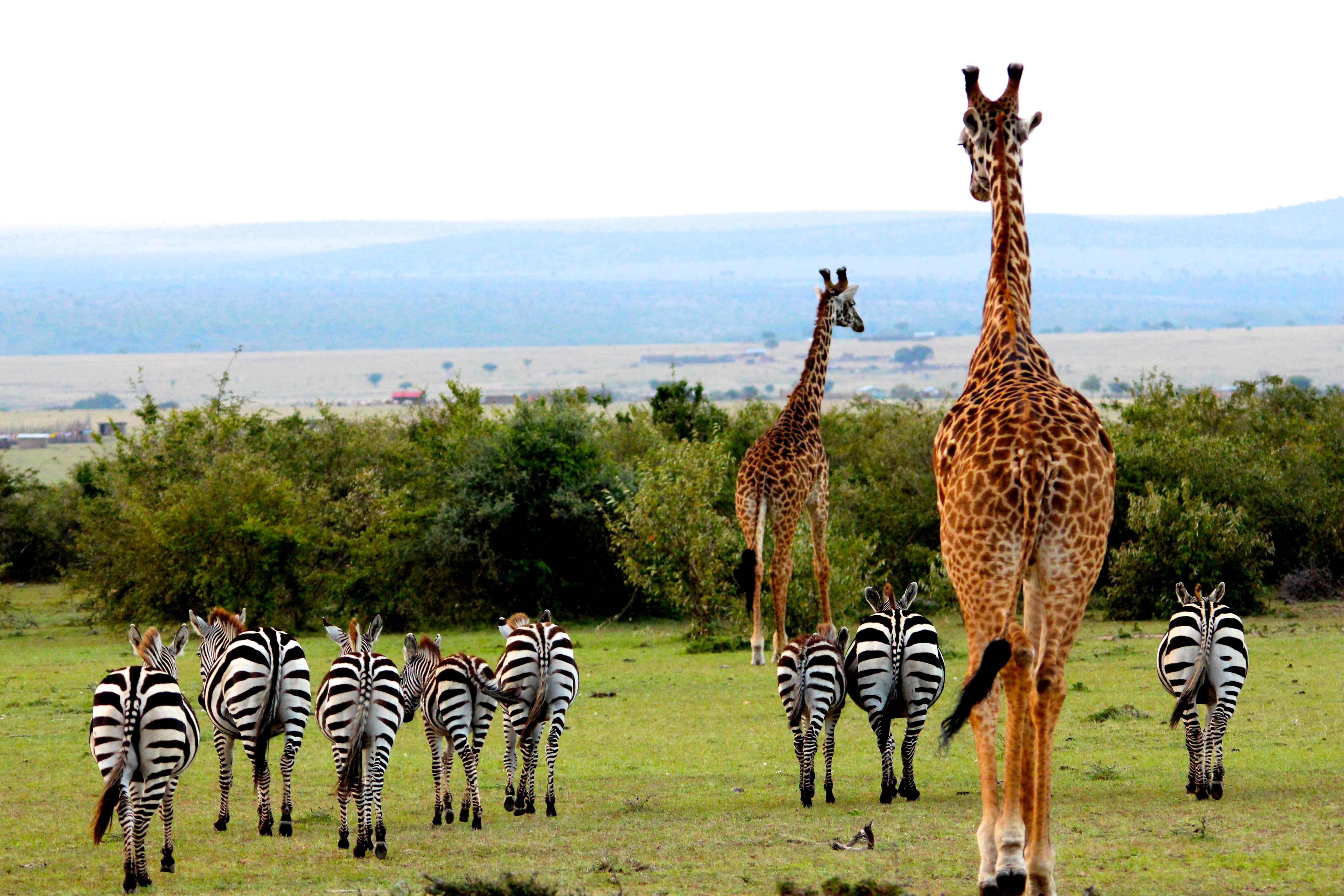 safari giraffee zebra luxury
